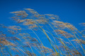 Grass against blue sky background in windy day - PhotoDune Item for Sale