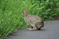 Wild Bunny Rabbit - PhotoDune Item for Sale