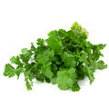 Cilantro Isolated - PhotoDune Item for Sale