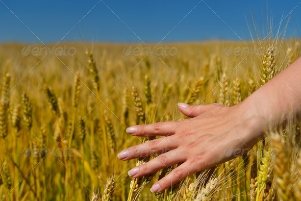 hand in wheat field - Stock Photo - Images