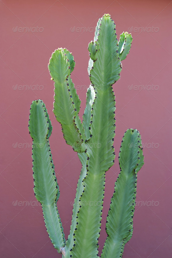 Euphorbia Cactus  - Stock Photo - Images