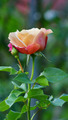 Fresh Multicolored Rose - PhotoDune Item for Sale