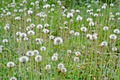 Dandelion Meadow, Nature, Environment - PhotoDune Item for Sale