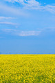 blossoming yellow field of canola - PhotoDune Item for Sale