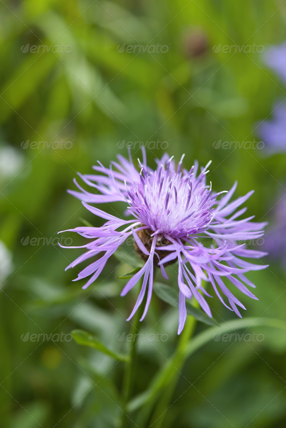 Purple Cornflower  - Stock Photo - Images