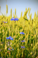 Wheat field with blue cornflowers - PhotoDune Item for Sale