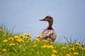 Duck on dandelion meadow - PhotoDune Item for Sale