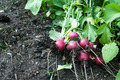 Radish on the Garden Bed - PhotoDune Item for Sale