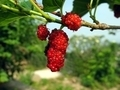 White Mulberry Tree - PhotoDune Item for Sale