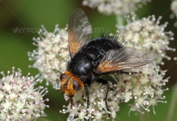 Large black fly on a flower - Stock Photo - Images