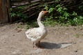 White goose in the farmyard near  the lath fence - PhotoDune Item for Sale
