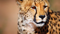 Cheetah portrait - PhotoDune Item for Sale