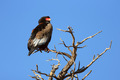 Bateleur perched on top of a tree - PhotoDune Item for Sale