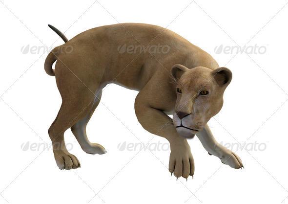 Hunting Lioness  - Stock Photo - Images