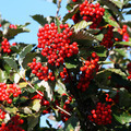 Rowan Berries in Autumn - PhotoDune Item for Sale
