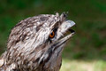 Australian Tawny Frogmouth bird - PhotoDune Item for Sale