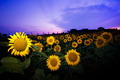 Sunflower At Sunset - PhotoDune Item for Sale