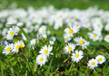 daisies, lawn of daisy flowers - PhotoDune Item for Sale