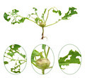 Slug damage of green kohlrabi, isolated - PhotoDune Item for Sale