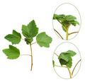 Red currant plant attacked by aphids - PhotoDune Item for Sale