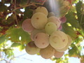 Green Grape - PhotoDune Item for Sale