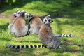 lemur - PhotoDune Item for Sale