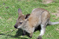wallaby - PhotoDune Item for Sale