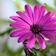 Osteospermum Bloom - VideoHive Item for Sale