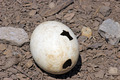 ostrich egg - PhotoDune Item for Sale
