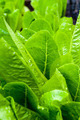 Romaine Lettuce - PhotoDune Item for Sale