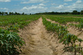 Cassava or manioc plant field in Thailand - PhotoDune Item for Sale