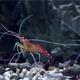 Close Up Of Shrimp In The Aquarium - VideoHive Item for Sale