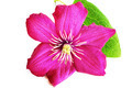 Pink clematis flower - PhotoDune Item for Sale