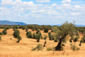 Olive trees plantation landscape - PhotoDune Item for Sale