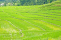 rice field in thailand - PhotoDune Item for Sale