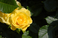 Yellow rose over dramatic shadow - PhotoDune Item for Sale