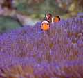 Clownfish and anemone - PhotoDune Item for Sale