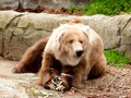 Kodiak Bear rests with food - PhotoDune Item for Sale
