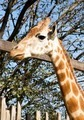 Giraffe head and trees - PhotoDune Item for Sale