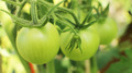 Fresh Green Tomatoes - PhotoDune Item for Sale