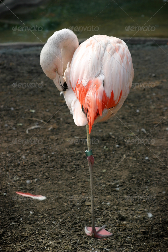 Chilean Flamingo - Stock Photo - Images