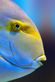 Yellowfin surgeon fish - PhotoDune Item for Sale