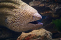 Honeycomb moray eel close-up - PhotoDune Item for Sale