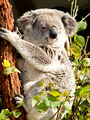 Koala Squinting in the Sun - PhotoDune Item for Sale