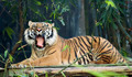 Roaring Tiger - Seated - PhotoDune Item for Sale