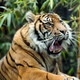 Tiger - Rolling Tongue, Mouth Open - PhotoDune Item for Sale