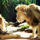 Two Lions Regard Each Other - One Seated - PhotoDune Item for Sale