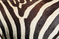 Zebra pattern - PhotoDune Item for Sale