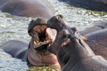 Male hippos fighting - PhotoDune Item for Sale