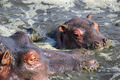 Baby hippo with mother - PhotoDune Item for Sale